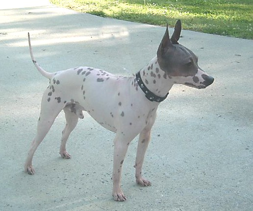 American Hairless Terrier - Simple English Wikipedia, the ...