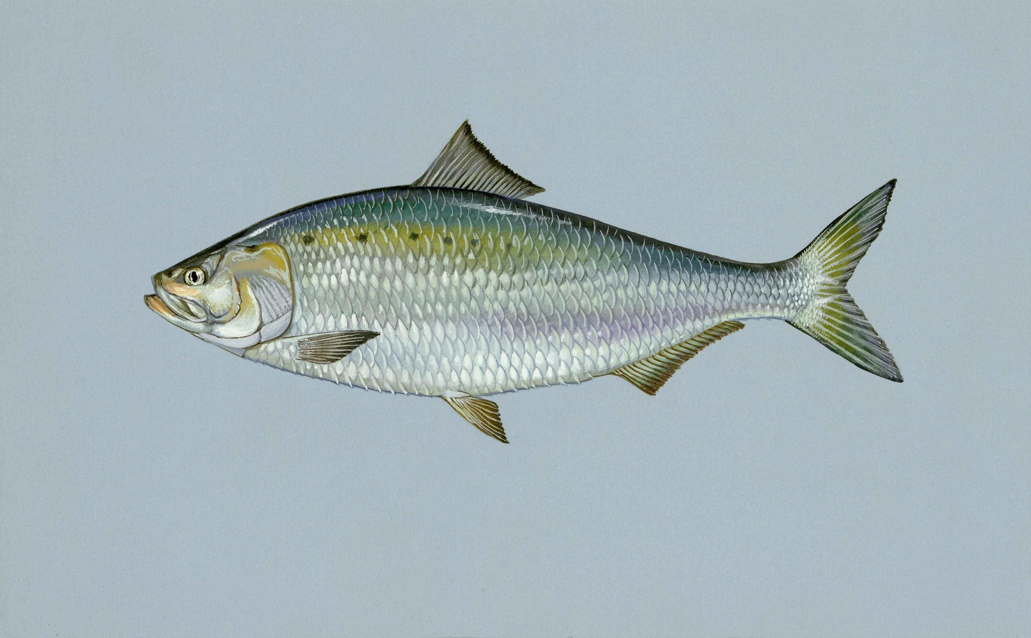 File American Shad Fish Alosa Wikimedia