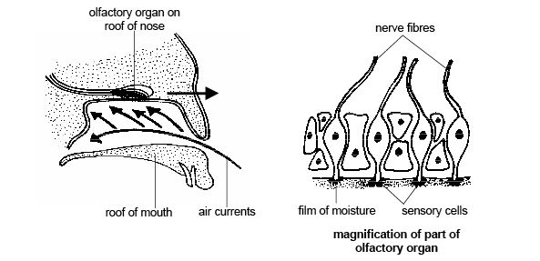 Anatomy and physiology of animals Olfactory organ the sense of smell.jpg