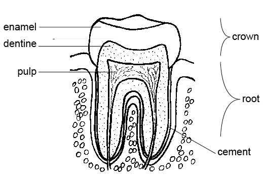 Anatomy and physiology of animals Stucture of tooth.jpg