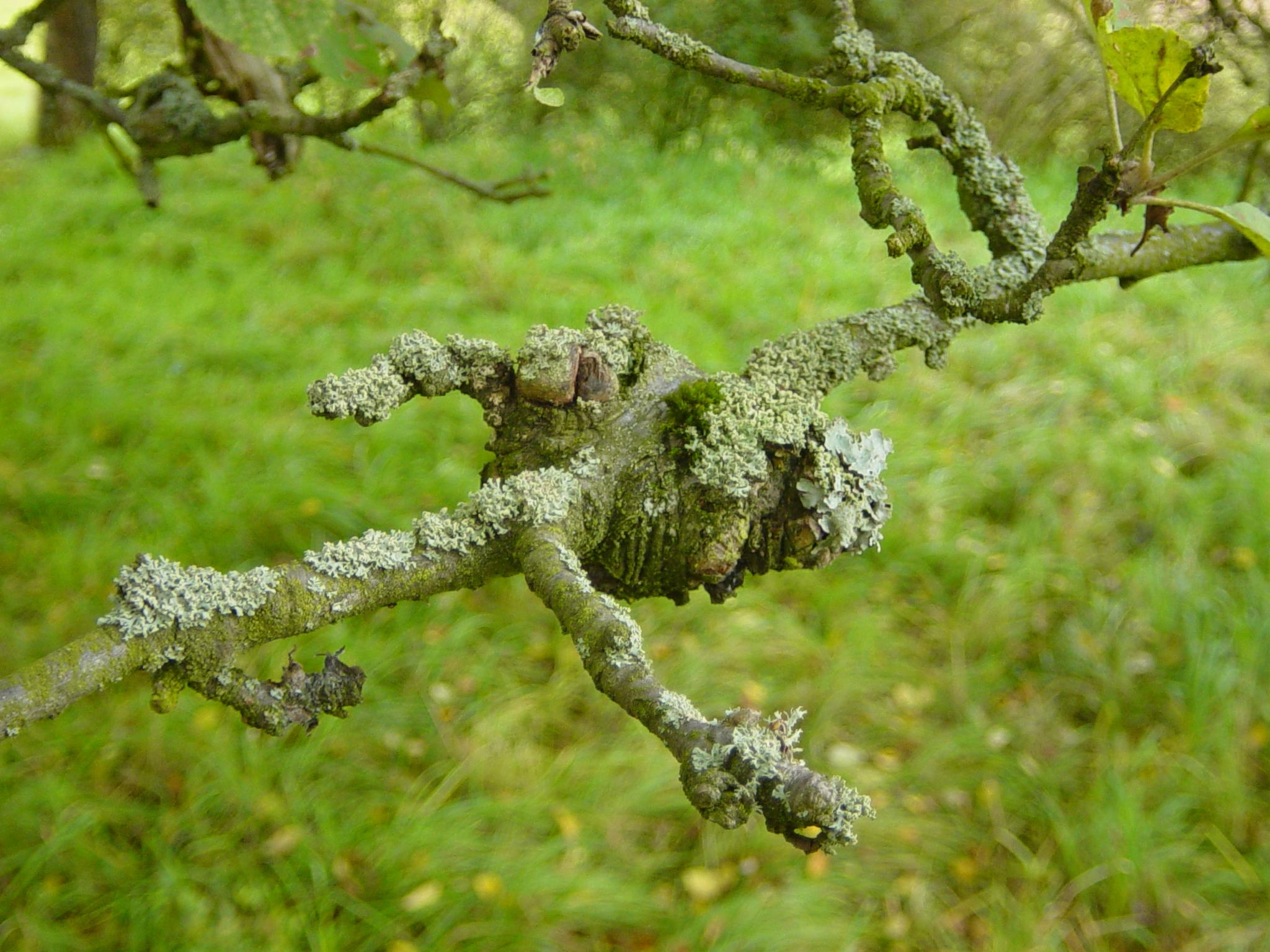 apfelbaum krankheiten mehltau
