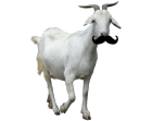 File:Ay laddie its bein a dank goat wiv a stache.png