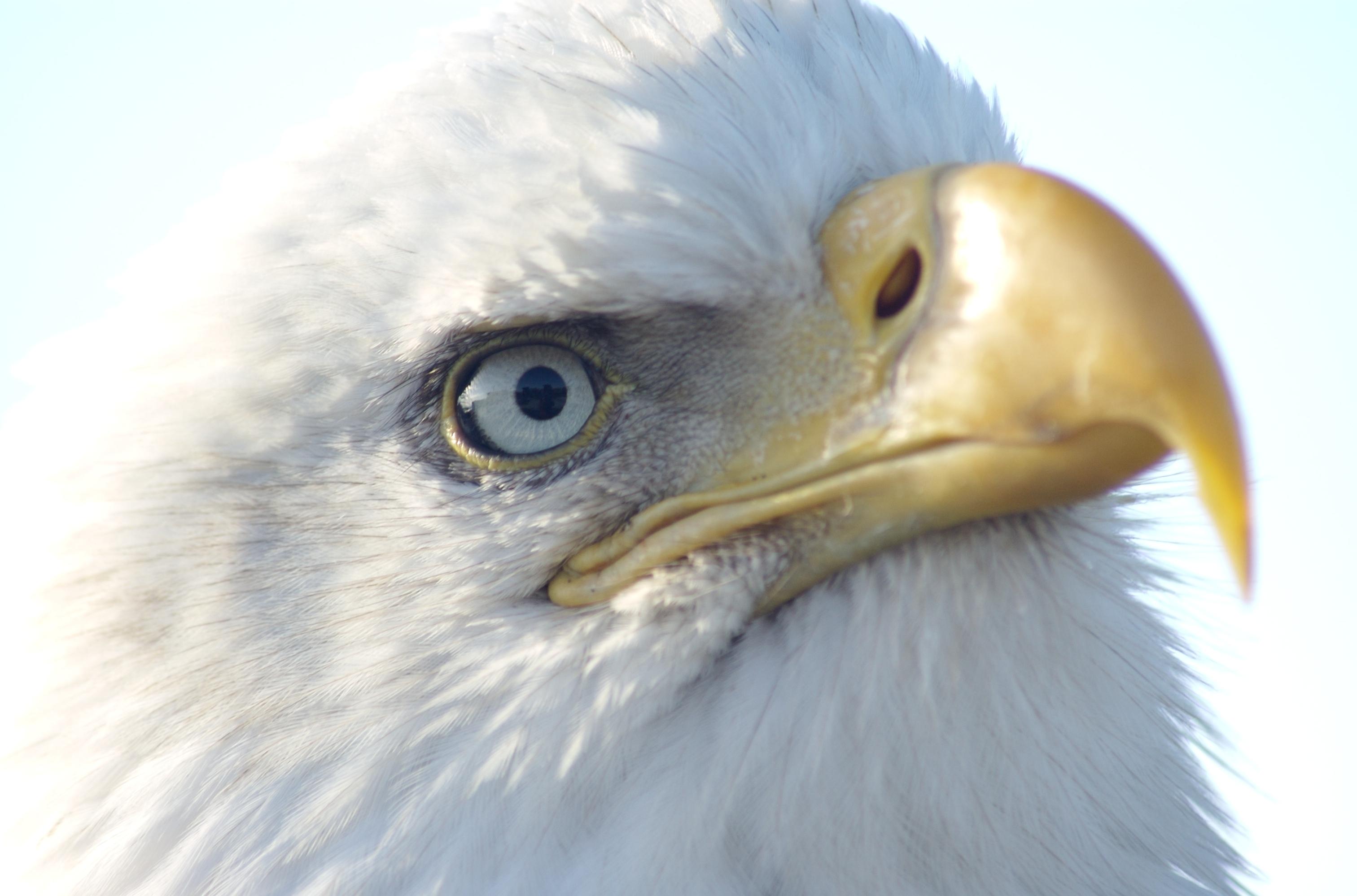 Alaska Bald Eagle Watching Tours Sauk City