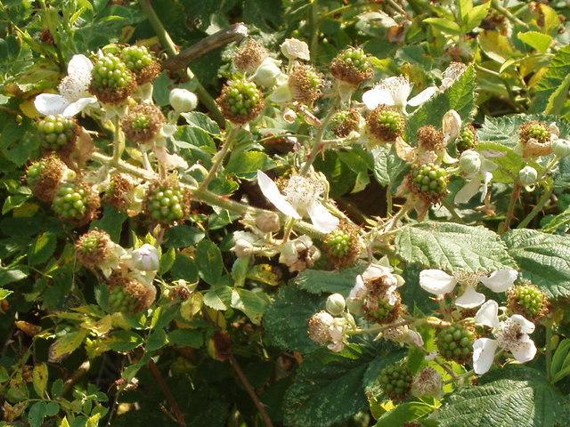 File:Blackberry flowers and unripe fruit, Hounslow Heath - geograph.org.uk - 196492.jpg
