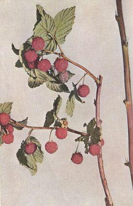 Малина без колючек Бёрбанка, по изданию 1914 года
