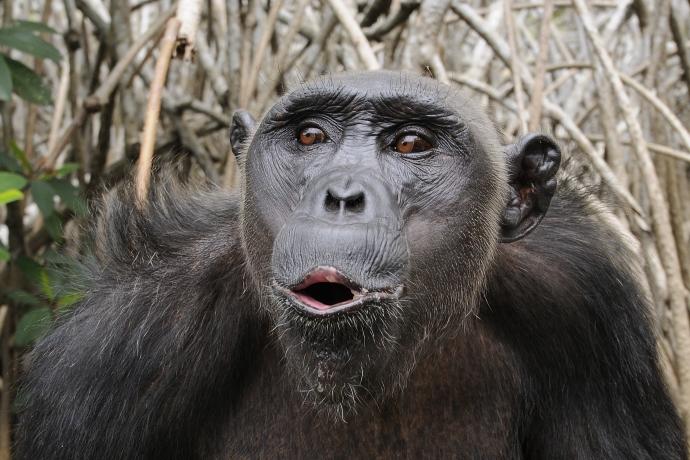 File:Chimpanzee Pan troglodytes.jpg