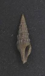 File:Crassispira sinensis 001.jpg