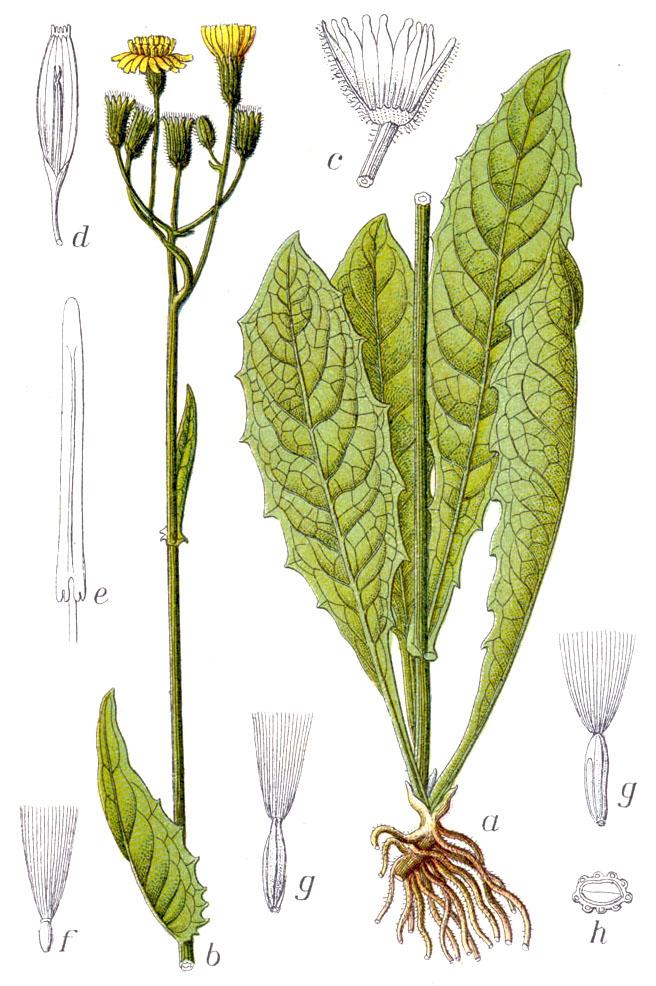 Crepis paludosa - Wikipedia - Crepis