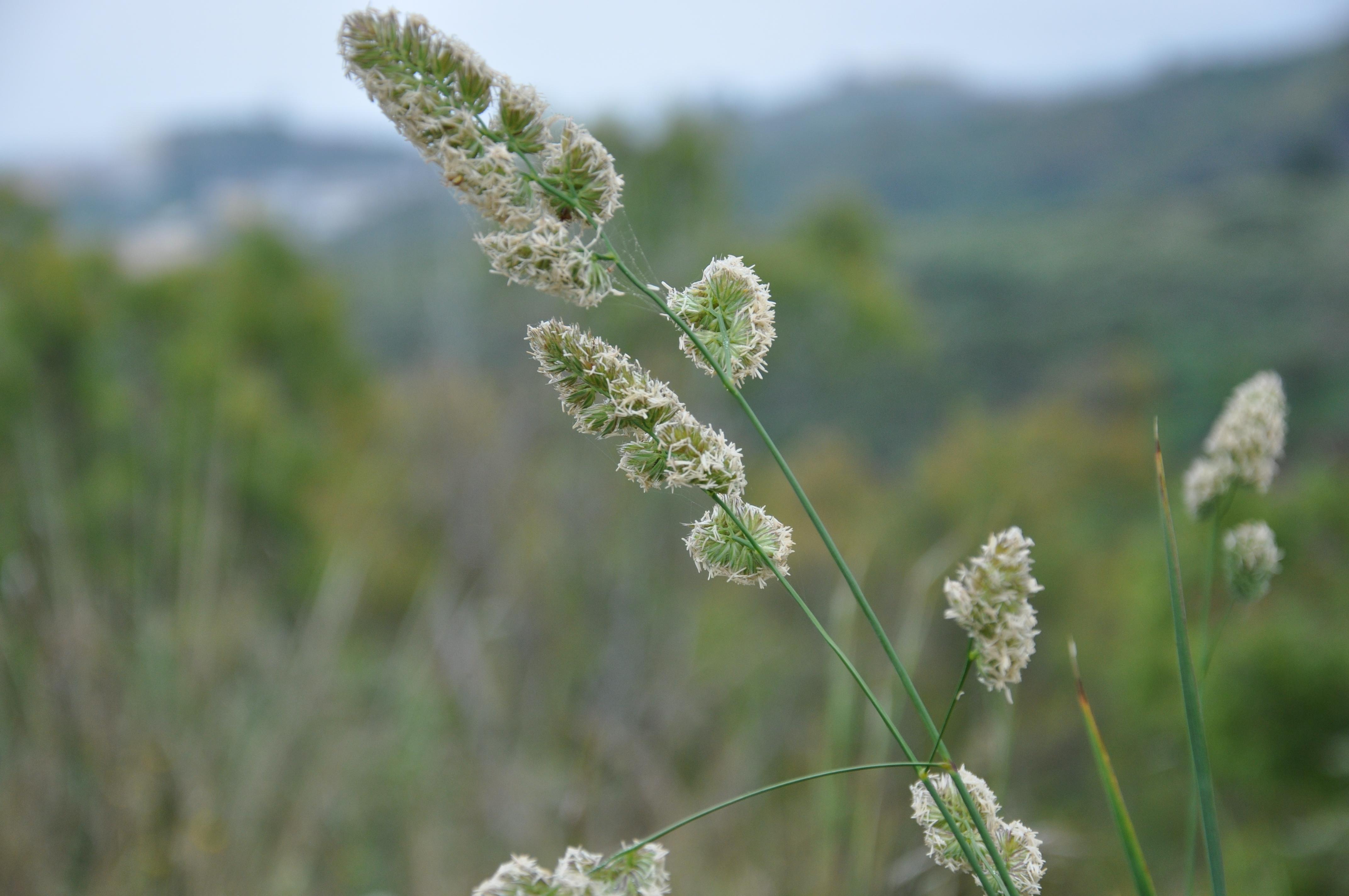 file dactylis glomerata
