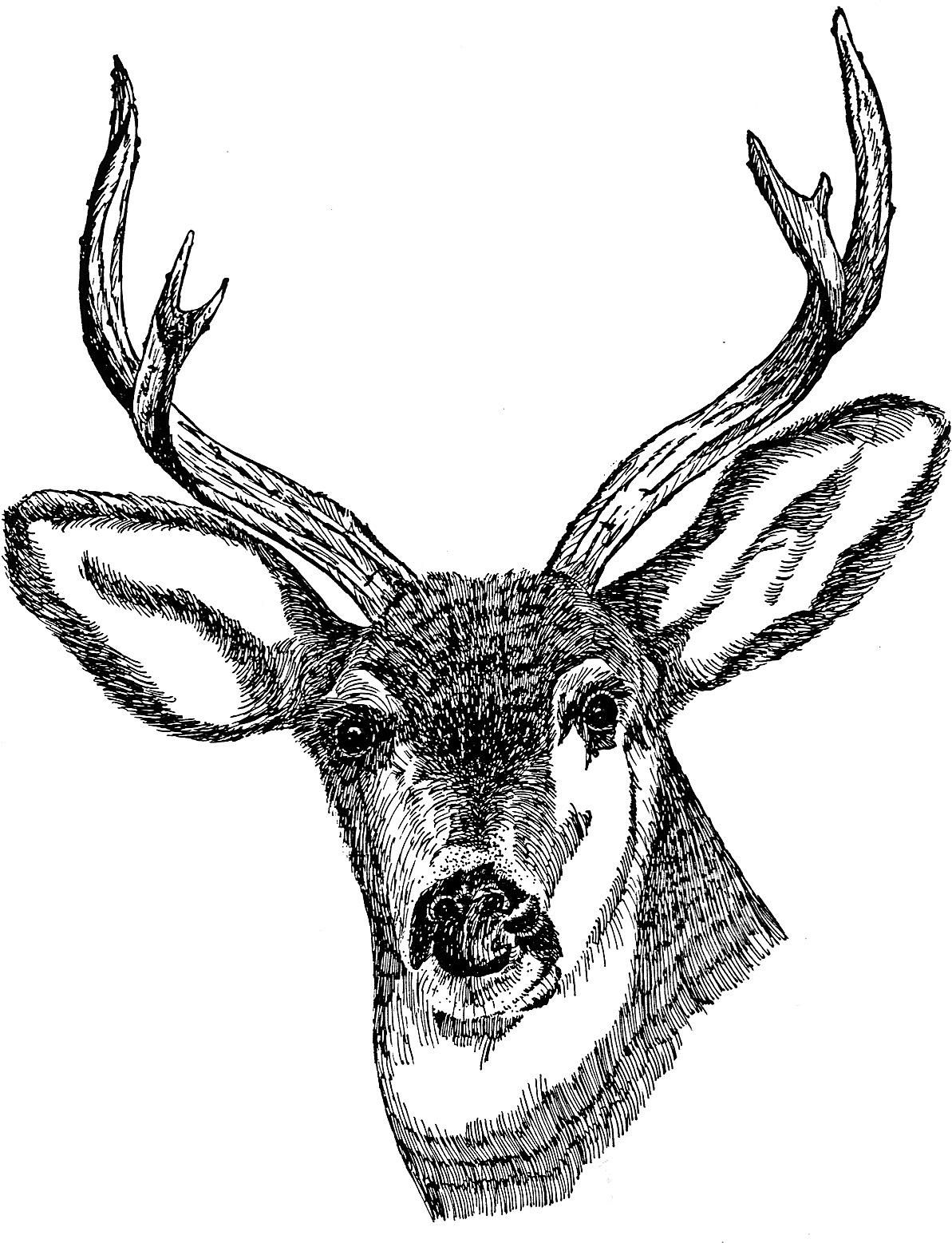 file deer head drawing art jpg wikimedia commons
