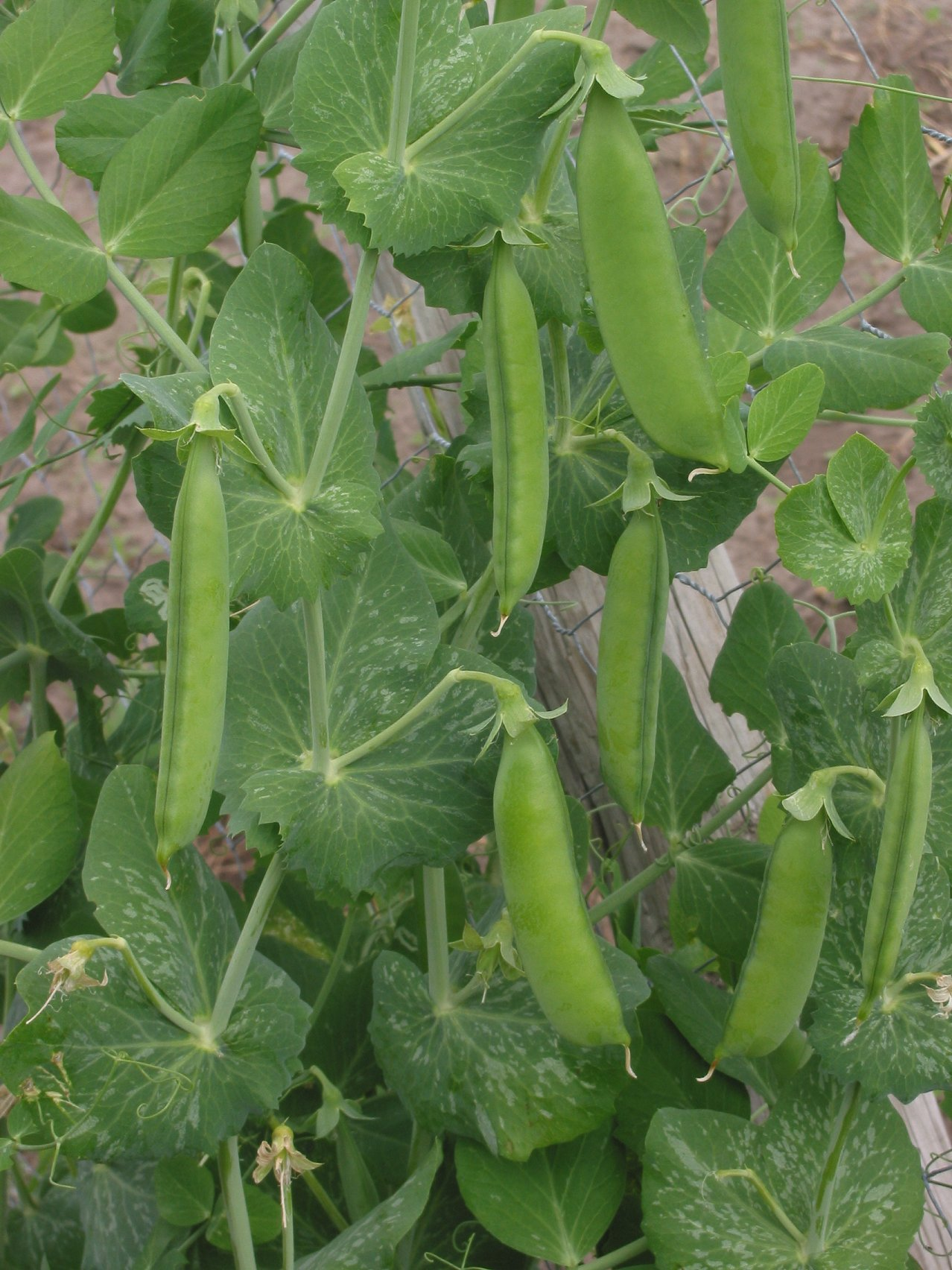 Annual plant wikipedia peas are an annual plant izmirmasajfo
