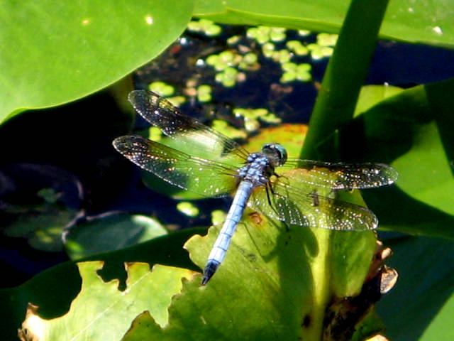 File:Dragonfly's everywhere! (4784414021).jpg