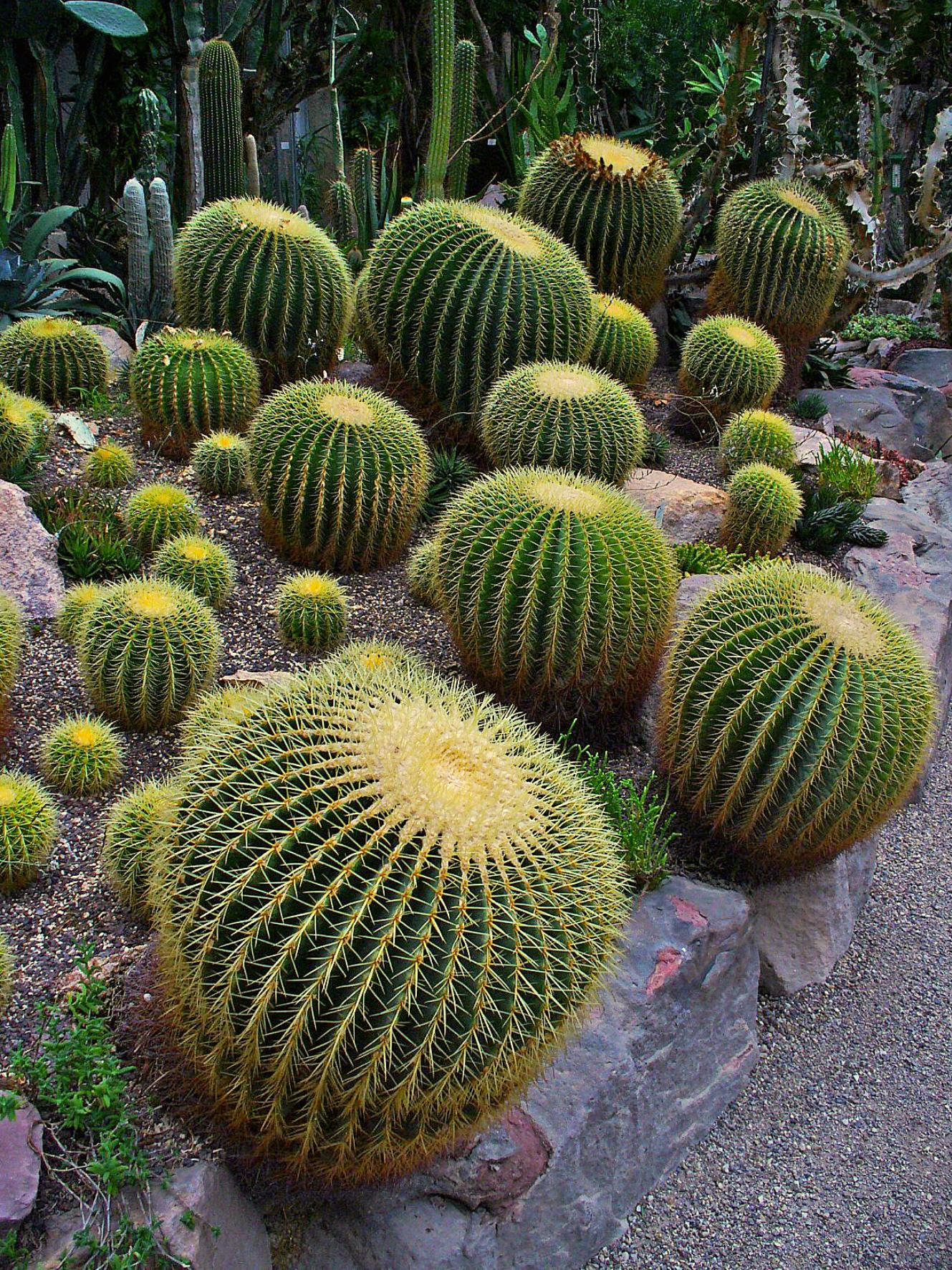File Echinocactus Grusonii 001 Jpg Wikimedia Commons