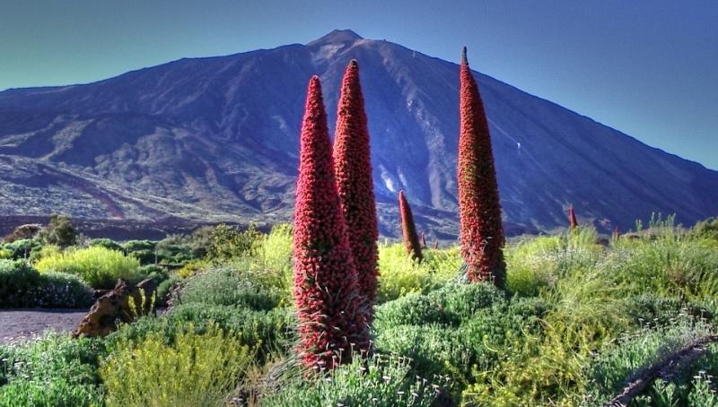 Blommande jättesnokört (Echium wildpretii) med vulkanen Teide i bakgrunden.
