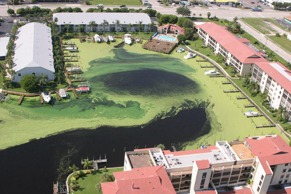 Florida's green algae disaster. Credit: Wikipedia Commons