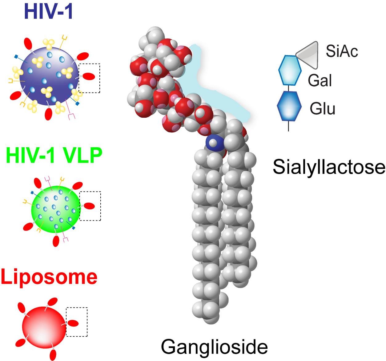 file gangliosides in hiv lipid envelope