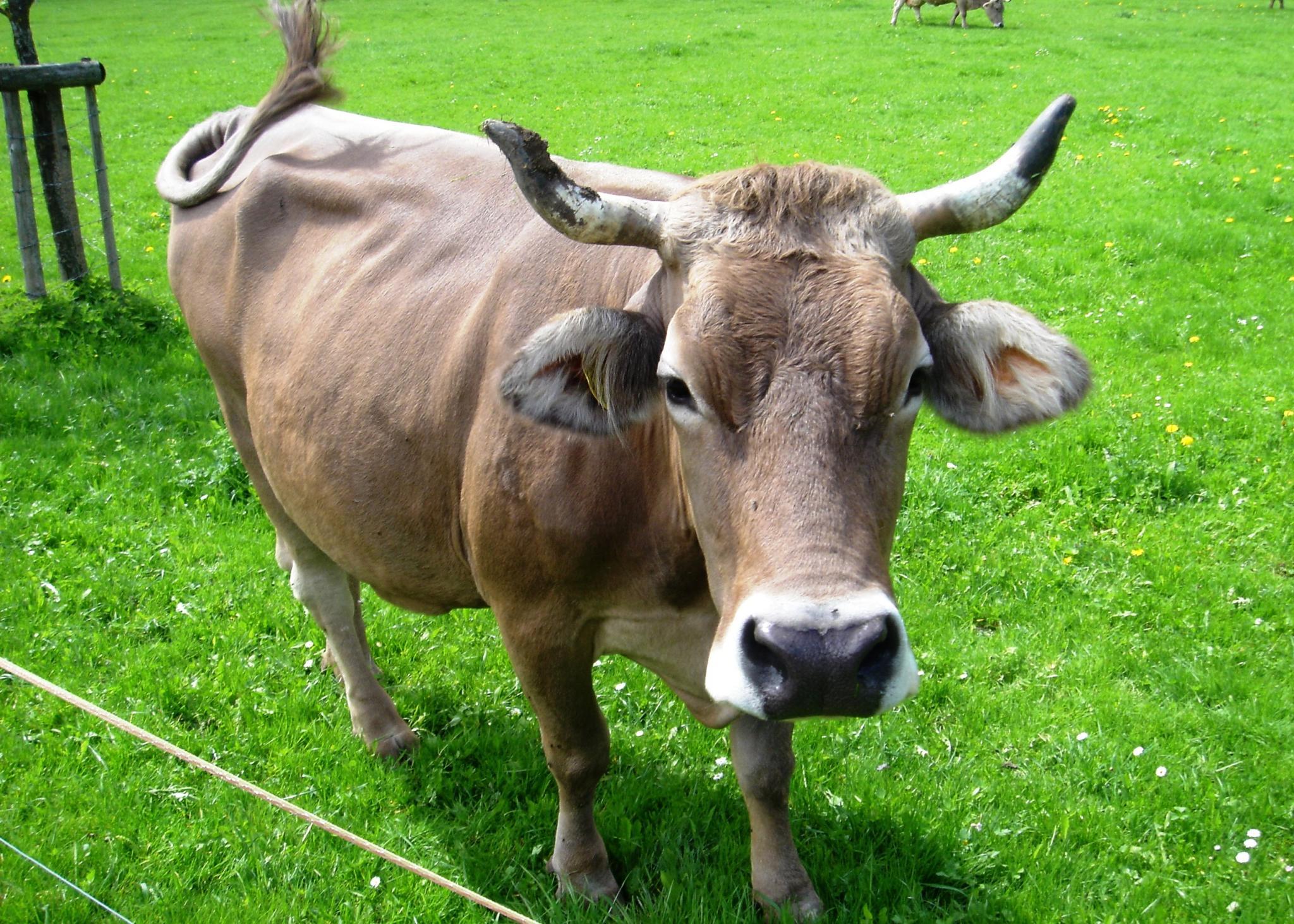 File Glarus-Cow jpg - ...