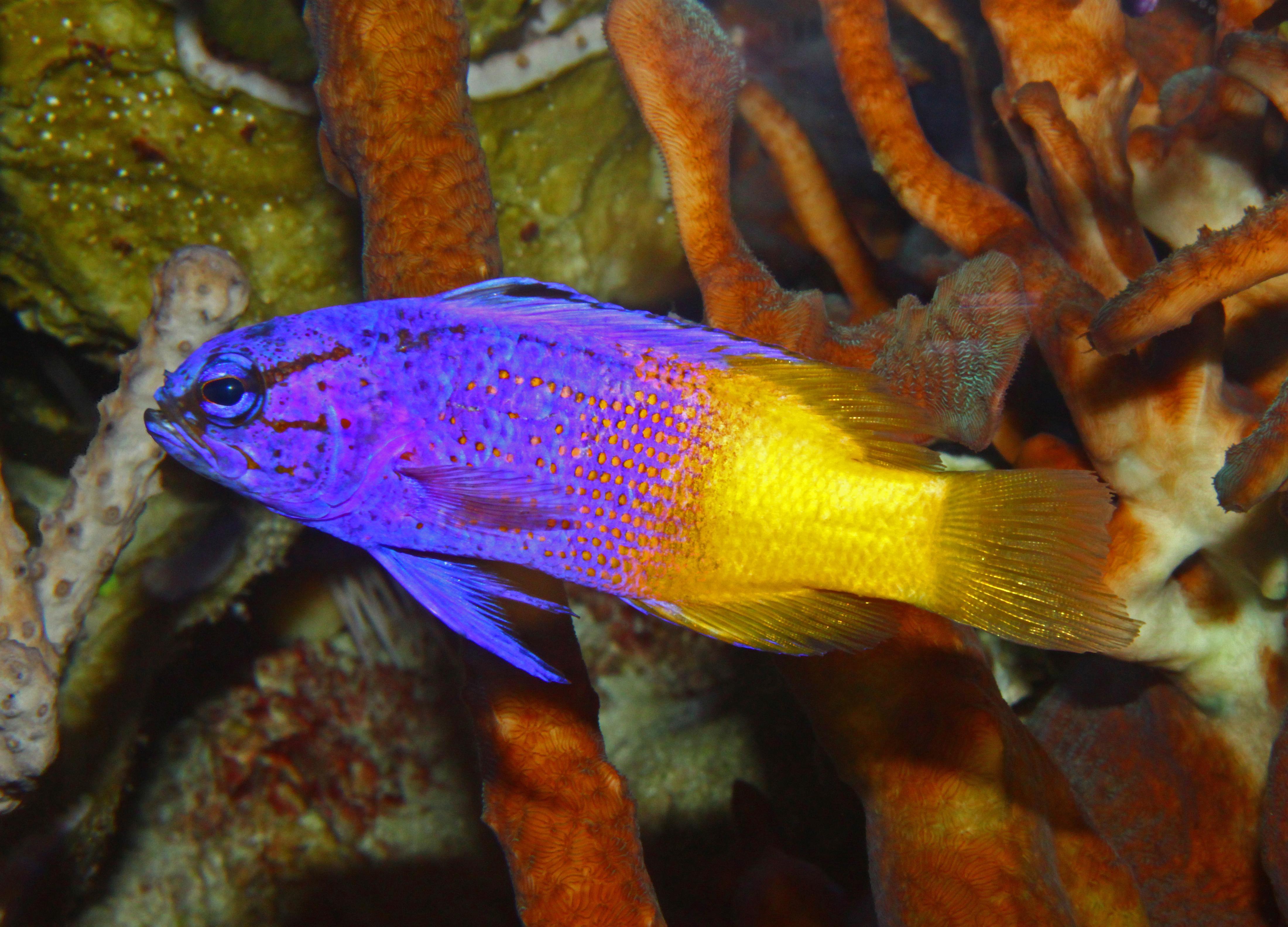 File gramma loreto wikimedia commons for What kind of fish is nemo