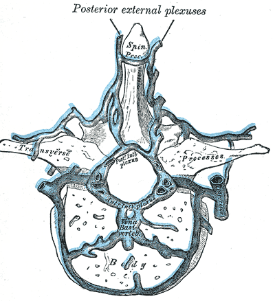 Internal vertebral venous plexuses - Wikipedia