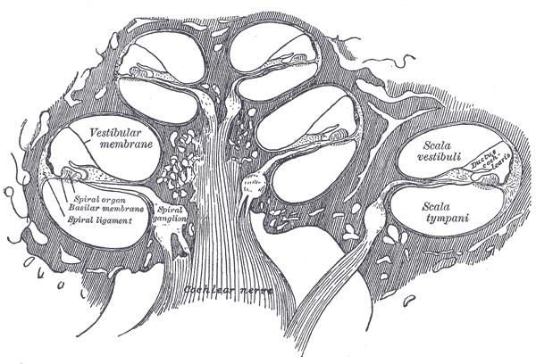 Cochlear Nerve Wikipedia