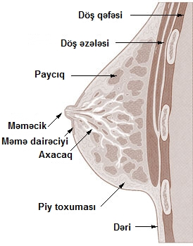 Illu breast anatomy az.jpg