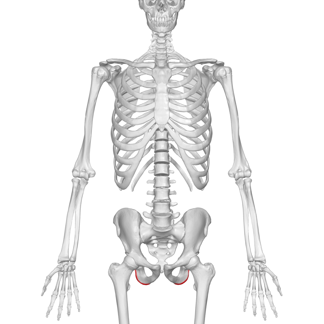 File:Ischial tuberosity 01 anterior view.png - Wikimedia Commons