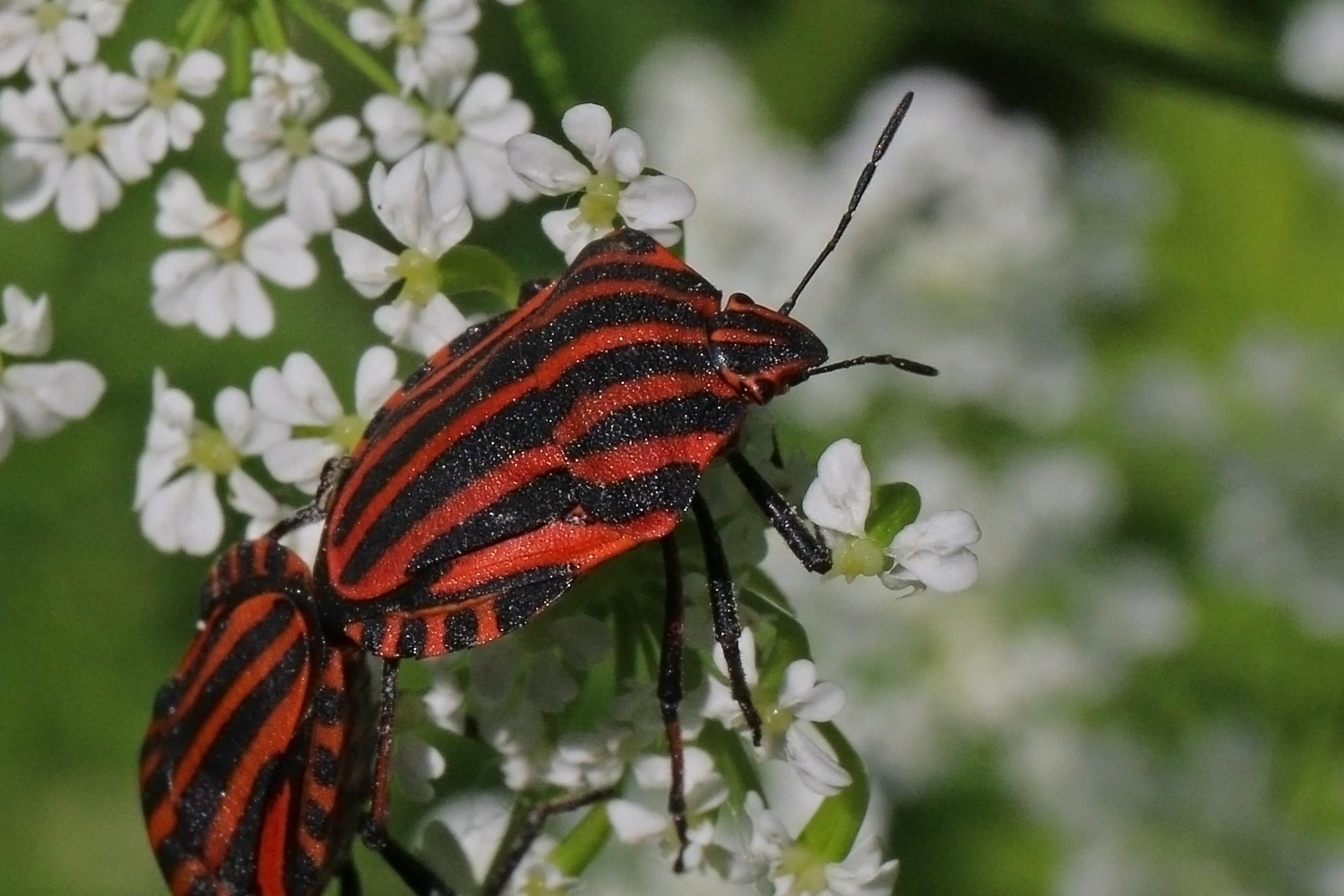 Italian striped bug  Graphosoma lineatum italicum  jpg. Graphosoma lineatum   Wikipedia