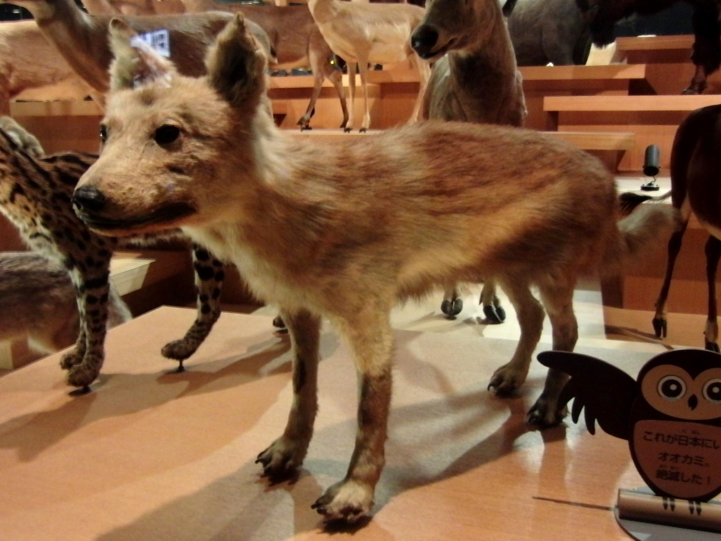 「ニホンオオカミ」の画像検索結果