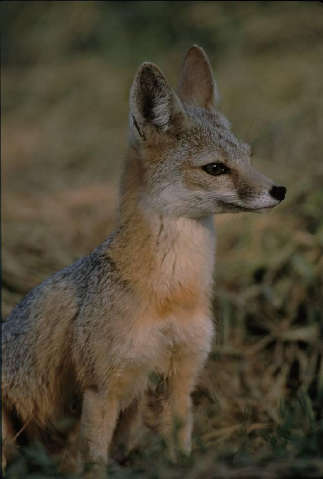Американская лисица