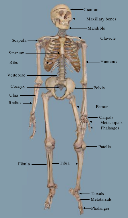 Labelled skeleton.png