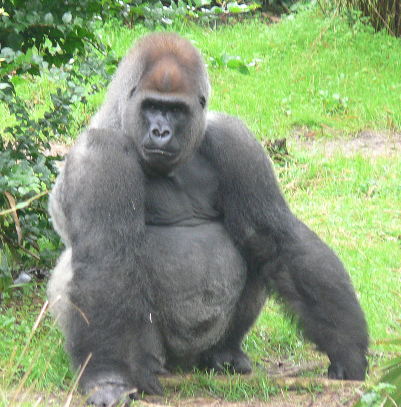 http://upload.wikimedia.org/wikipedia/commons/b/bc/Male_silverback_Gorilla.JPG
