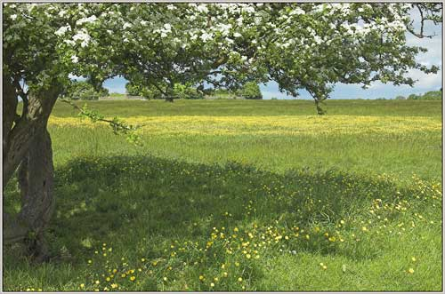 Minchinhampton Common in blossom - geograph.org.uk - 1631550
