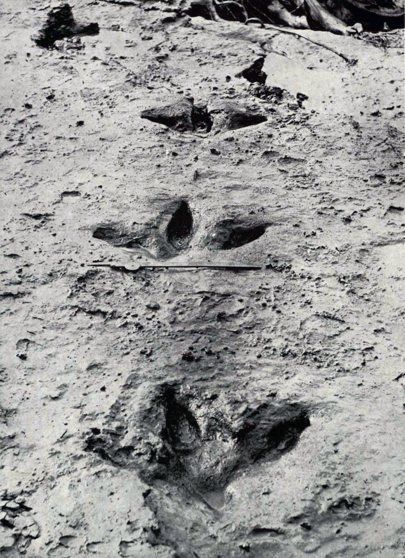 File:Moa footprints jpg - Wikimedia Commons