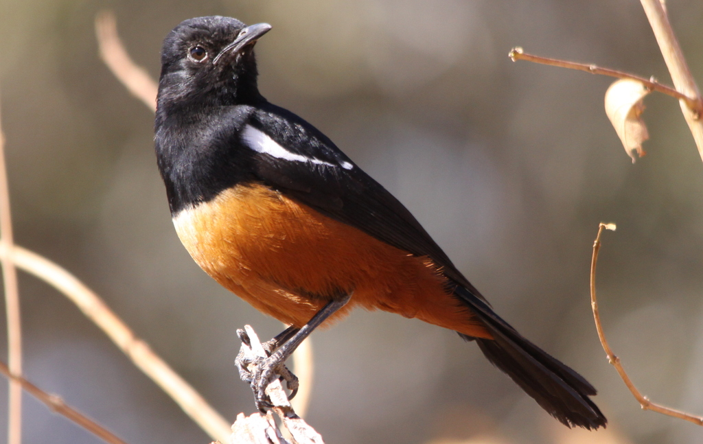 cliff chat The mocking cliff chat, mocking chat or cliff chat, (thamnolaea cinnamomeiventris) is a species of chat in the family muscicapidae which occurs in rocky habitats in much of eastern sub-saharan africa.