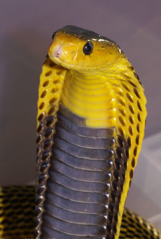 Image Result For Spitting Cobra Coloring