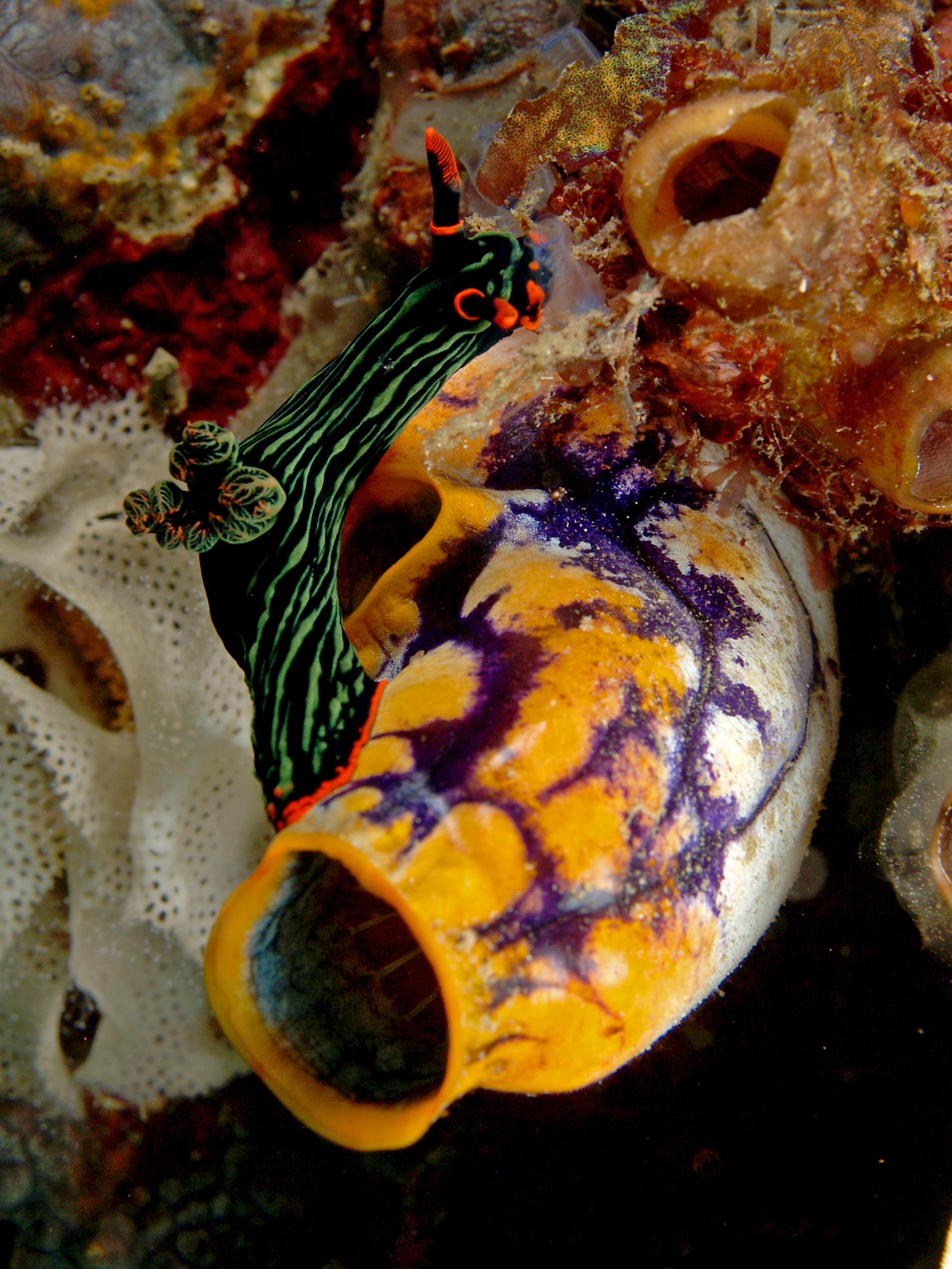 File:Nambrotha kubaryana feeding on tunicates.jpg - Wikimedia Commons
