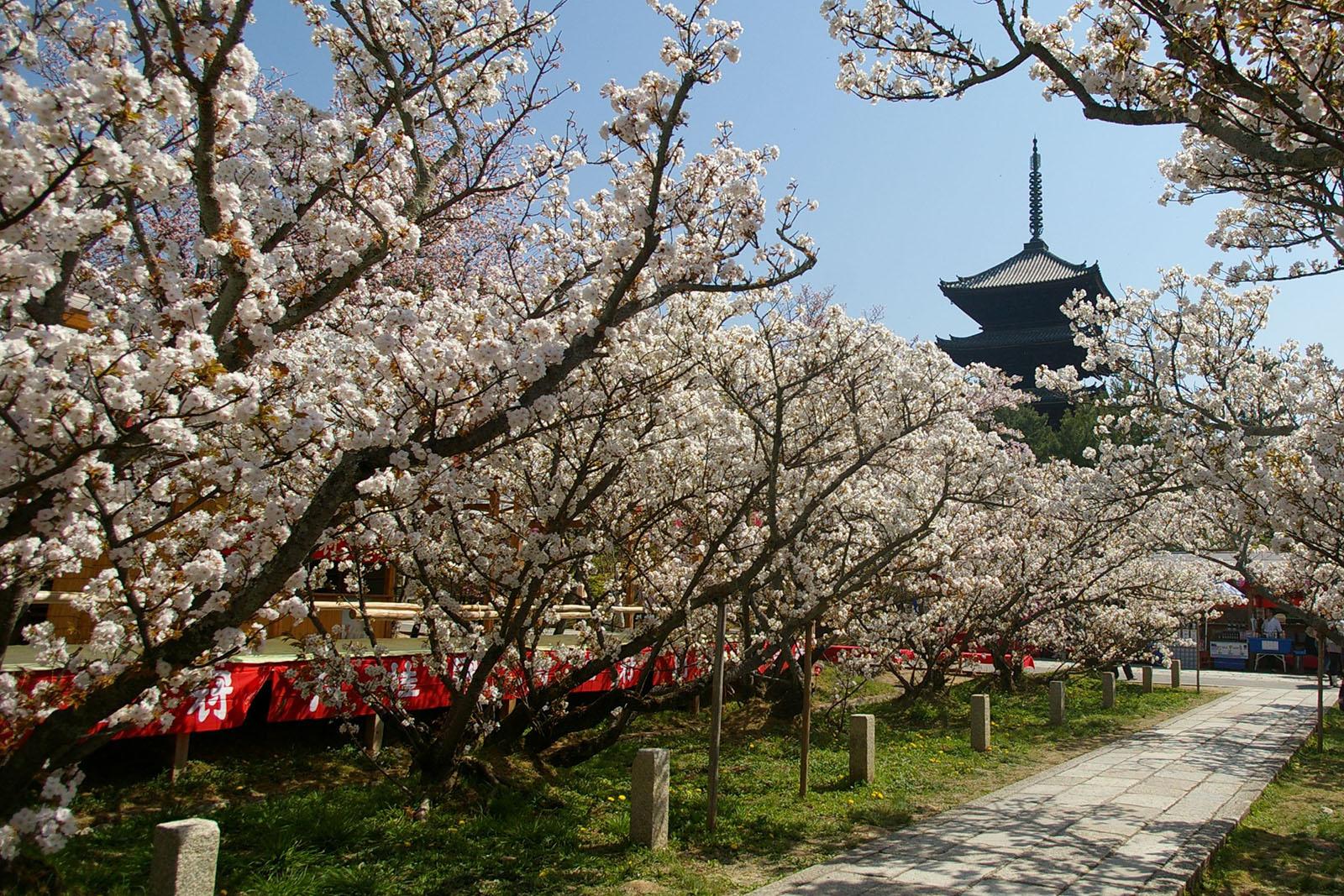 「仁和寺 櫻花」的圖片搜尋結果