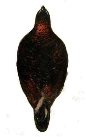 Page 63 image (The Grouse in Health and in Disease (Volume 1)).jpg