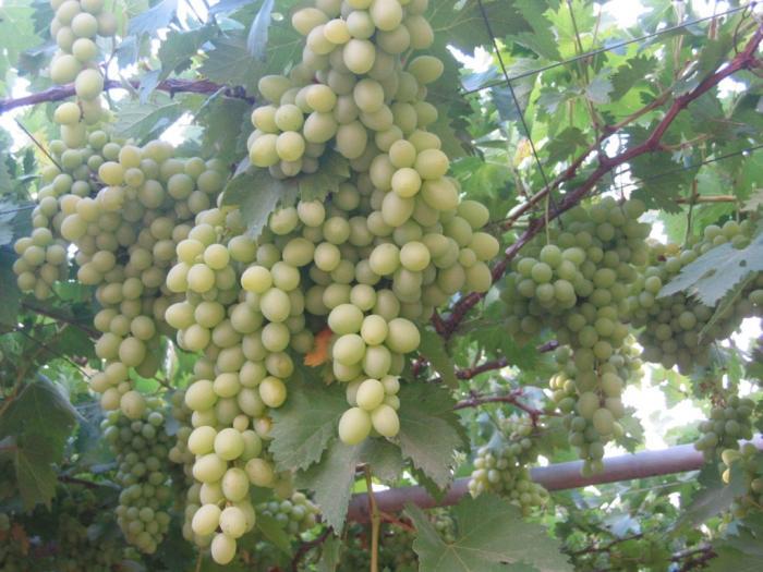 אשכולות ענבים