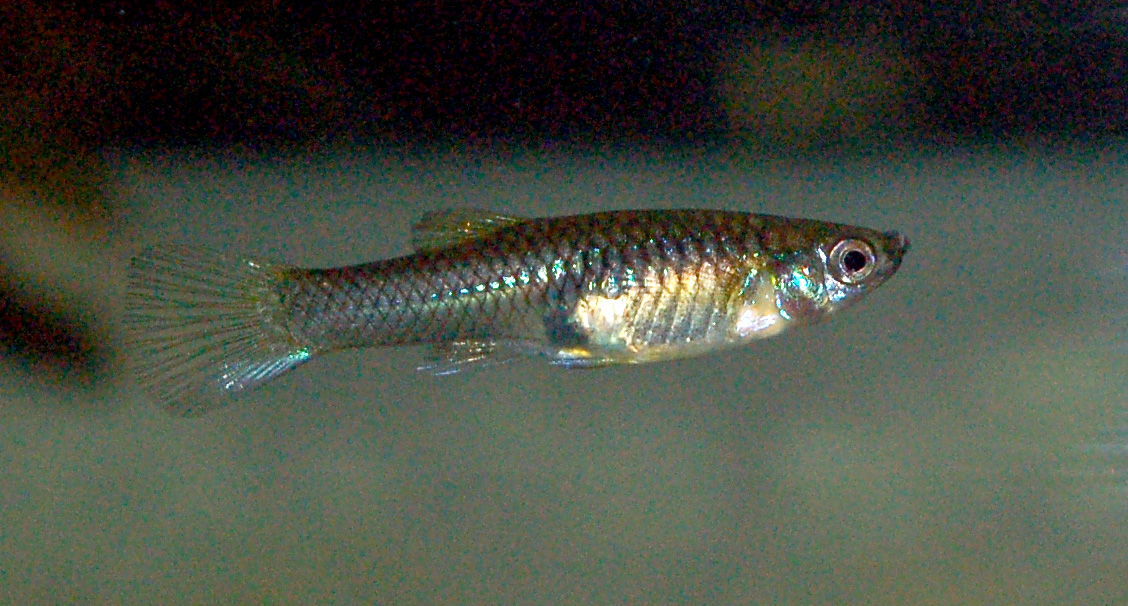 Poecilia wingei endler 39 s livebearer seriously fish Livebearer aquarium fish