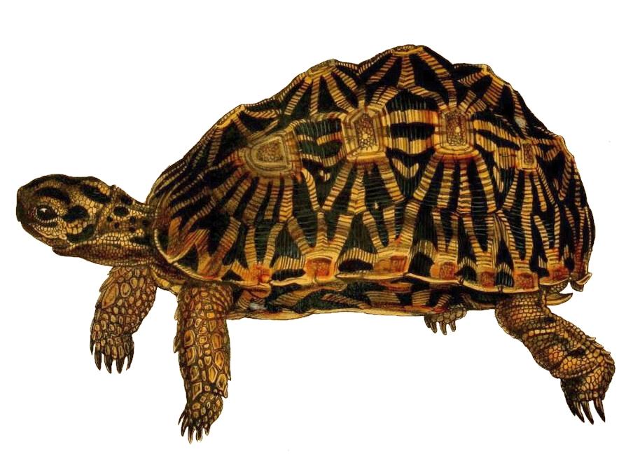 Geometric tortoise - Wikipedia