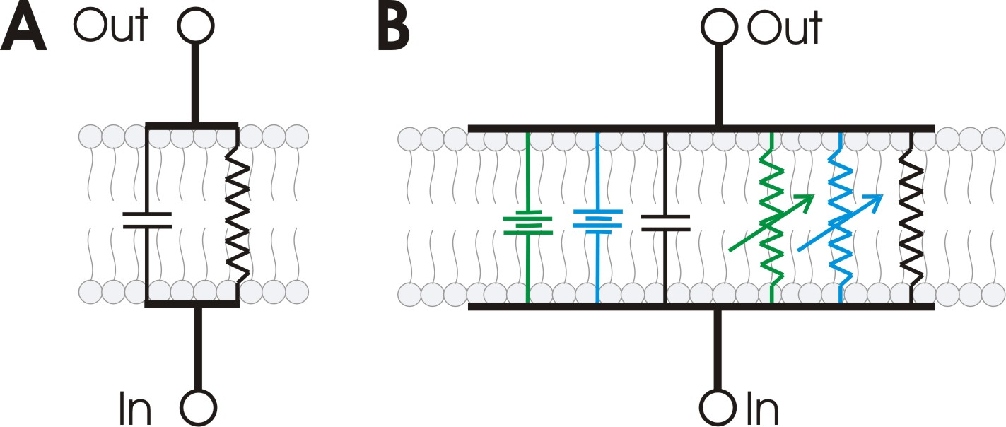 Cell Membrane Equivalent Circuit Auto Electrical Wiring Diagram Filerc Circuitsvg Wikipedia File Rc Wikimedia Commons Dc Circuits Thevenins Theorem