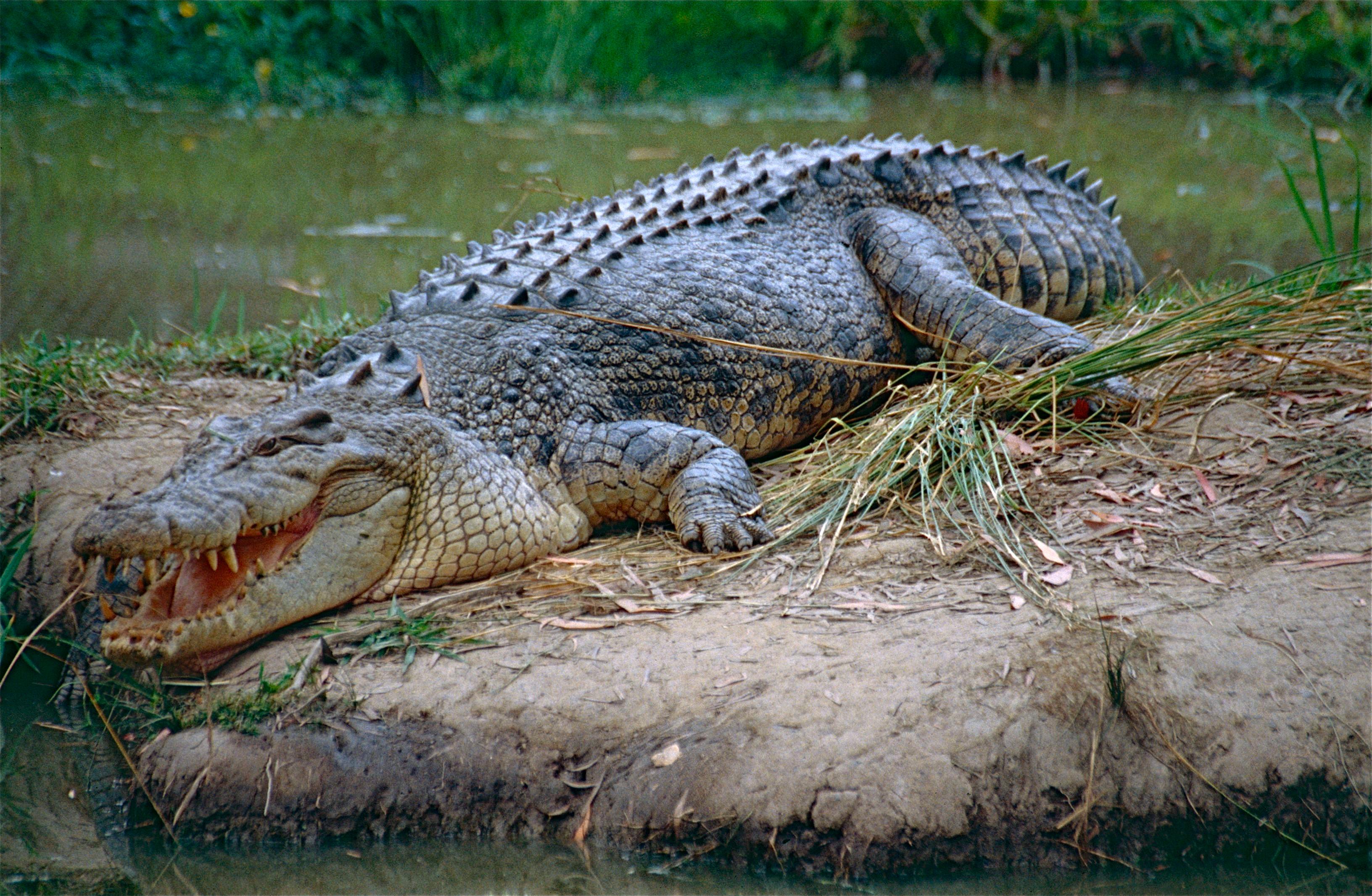 Cá sấu trên cạn