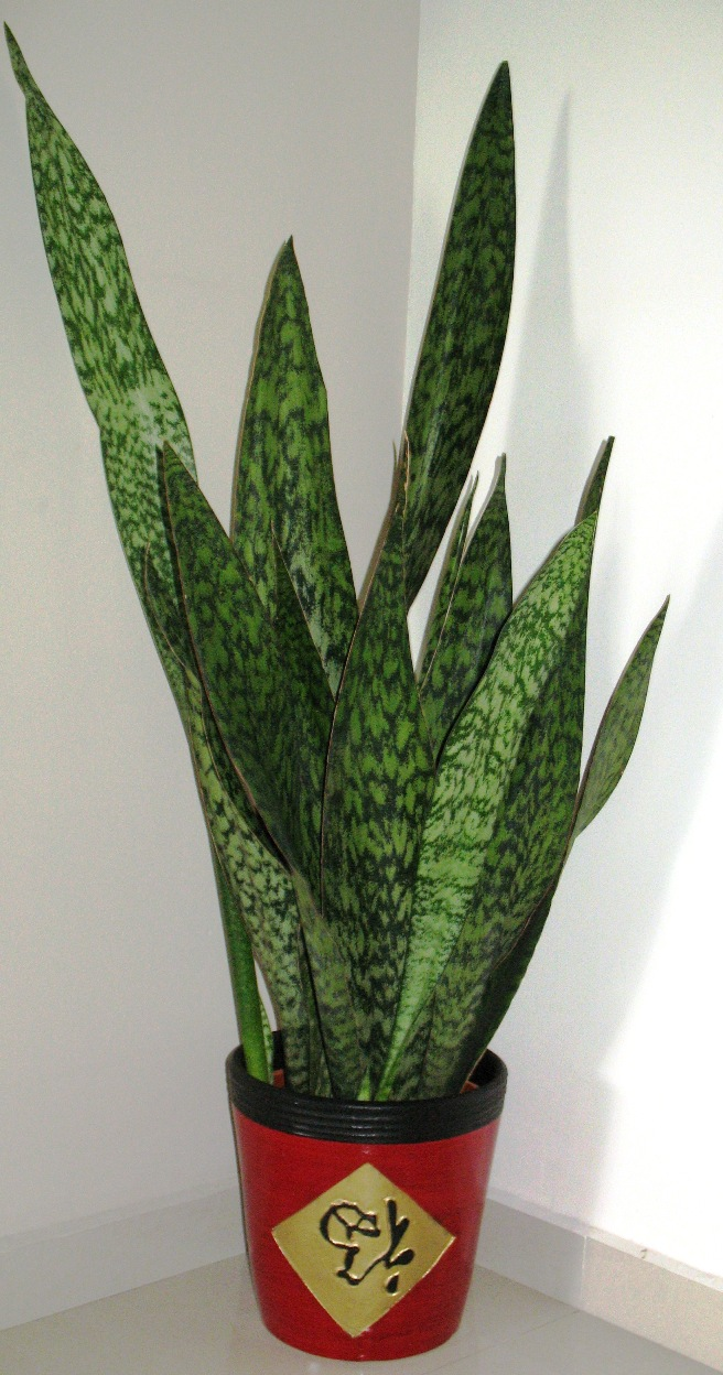 File sansevieria in wikimedia commons for Plant de pot exterieur