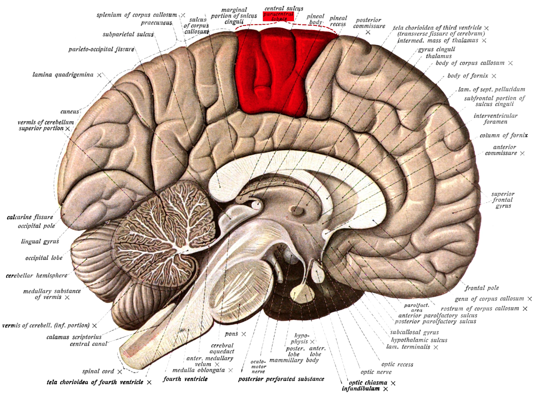 Paracentral lobule - Wikiwand