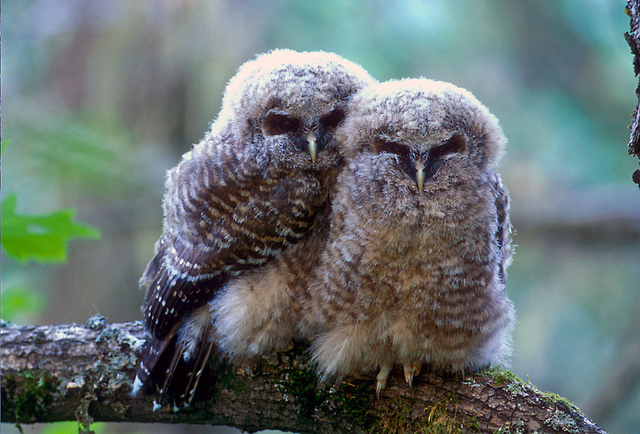 Spotted owl chicks (6862199873)
