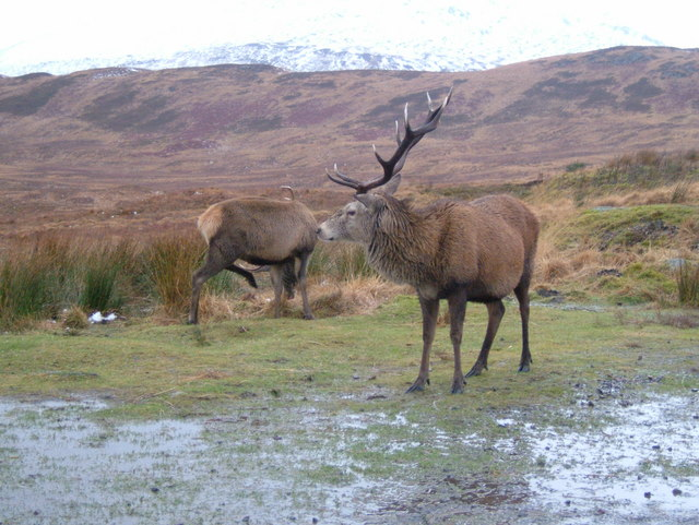 Stags at Viewpoint above Glen Orchy - geograph.org.uk - 1060146