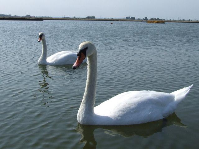 Swans at Barton's Point Coastal Park - geograph.org.uk - 653153