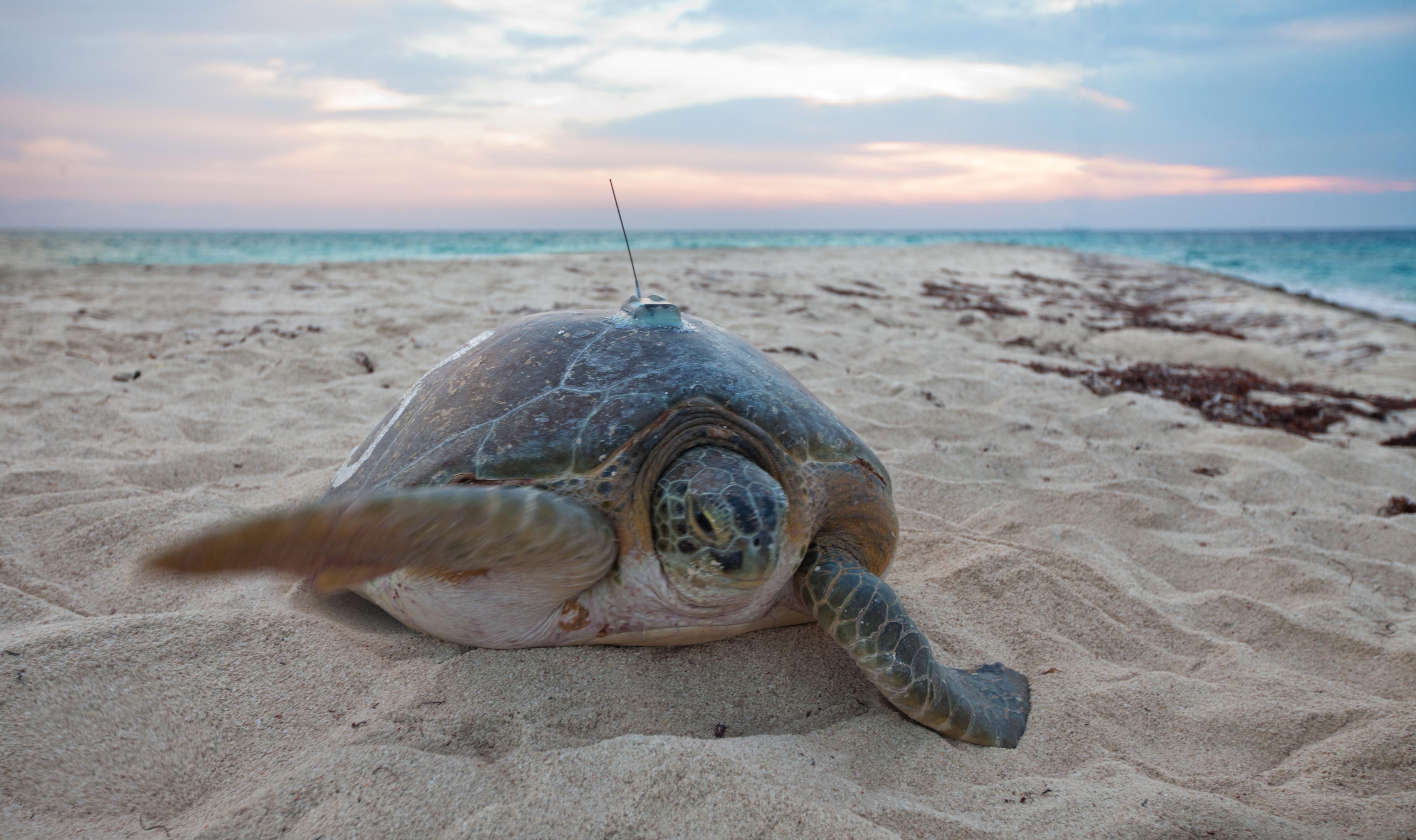 Sea Turtle Size Chart: Tracking Sea Turtles (19472246628).jpg - Wikimedia Commons,Chart