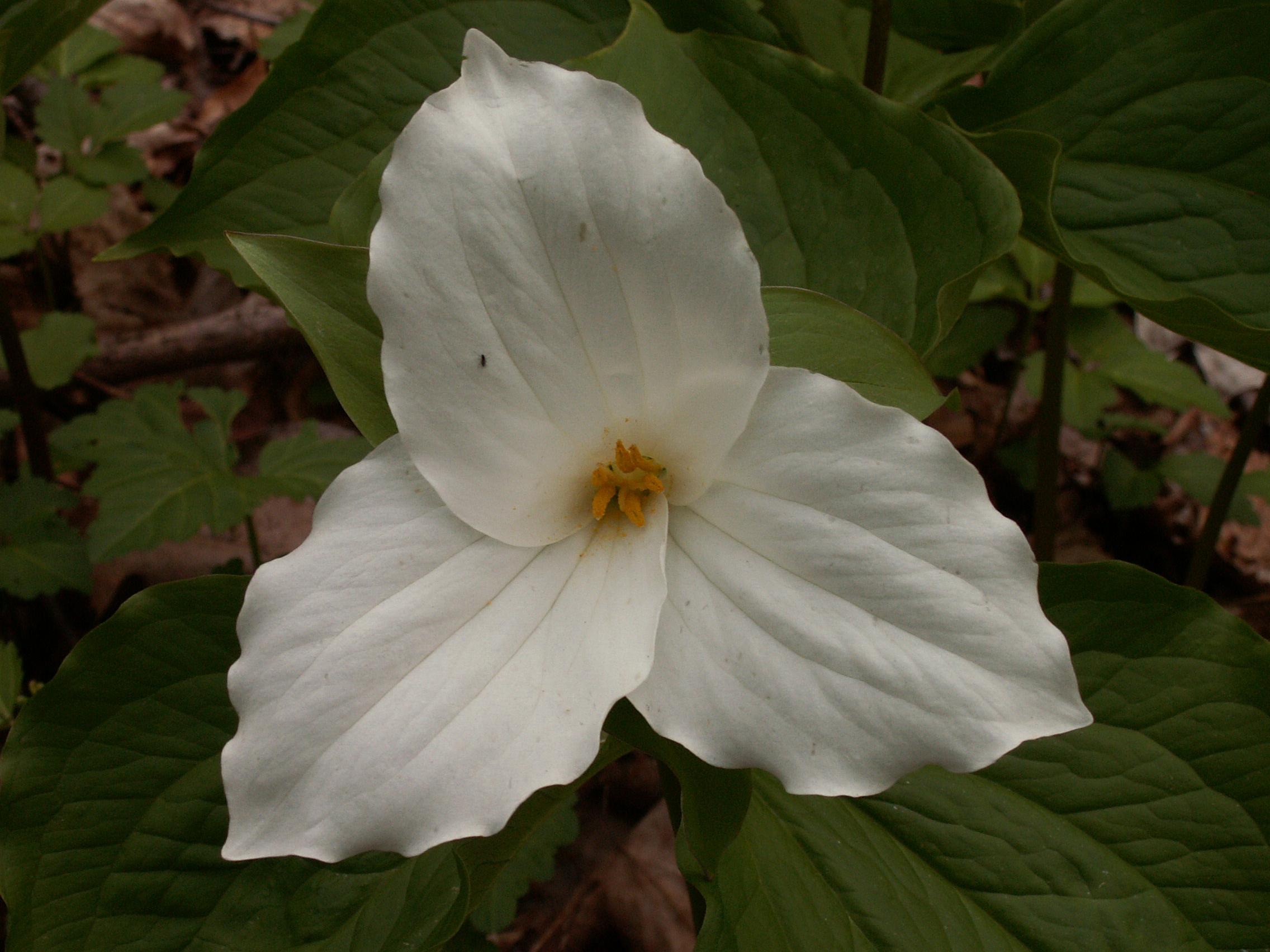 Great White Trillium Trillium Grandiflorum Flora Pittsburghensis